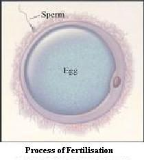 Fertilization of an Ovum by Sperm