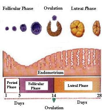 Changes in the Ovary and Uterus in the Menstruation Cycle