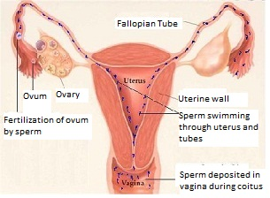 How Fertilization and Pregnancy Occurs