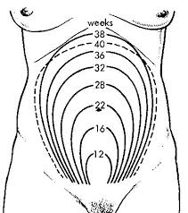 Height of the Uterus at different times of pregnancy
