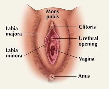 Vulva-Clitoris,Labia Major,Labia Minora,Mons pubis,vaginal opening,hymen,vestibule and bartholin's glands
